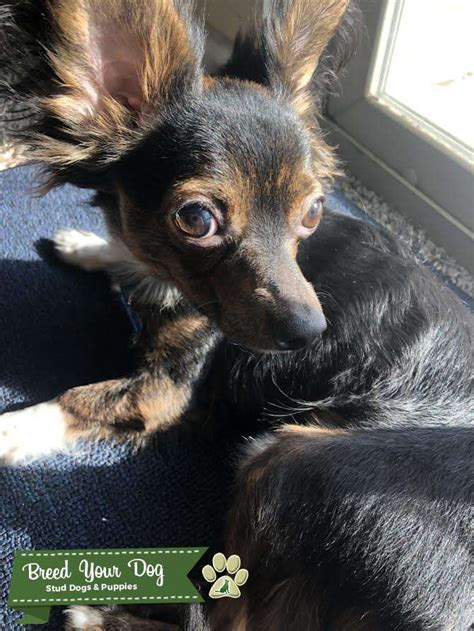 Stud Dog - Long Haired Chihuahua Min Pin Mix - Breed Your Dog