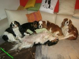 """Cavalier King Charles Spaniel-Zwinger """"the Royal Champion"""