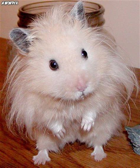 Syrian hamster care - Home