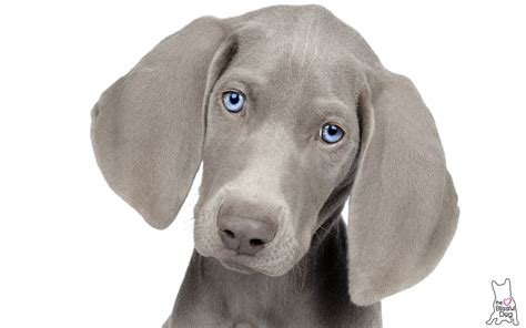 WEIMARANER ALL NATURAL HANDCRAFTED NOSE BUTTER FOR DRY
