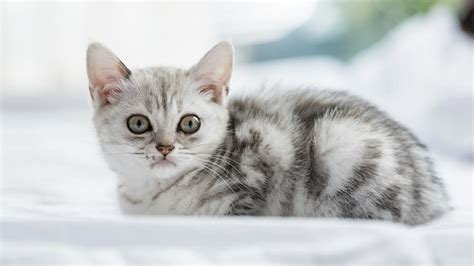 American Shorthair - Information, Characteristics, Facts