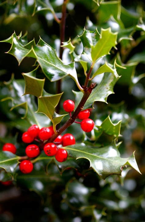 Holly: an Irish Christmas Tradition - Griffins Garden Centre