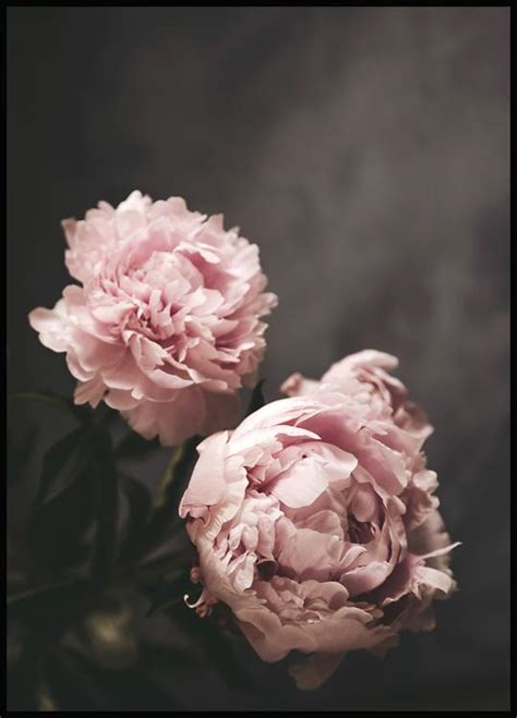Peonies Poster - Nature & Botanical - Posterstore